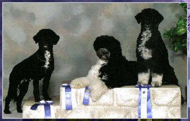 Portuguese Water Dog Obeidience Champions - Calla, Dreamer, & Cinder
